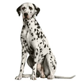 Dalmatian Billboard | Artlantis Billboards FREE Download