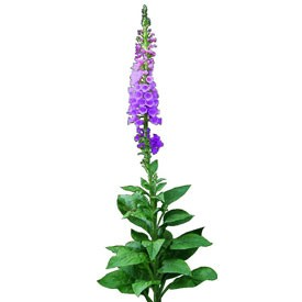 Purple foxglove Billboard | Artlantis Billboards FREE Download