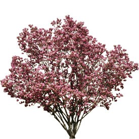 Flowering pink tree Billboard | Artlantis Billboards FREE Download