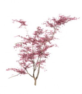 Maple Tree 3D Object | FREE Artlantis Objects Download